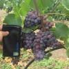 Виноград столовый свежий - Изображение1