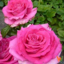 О саженцах роз