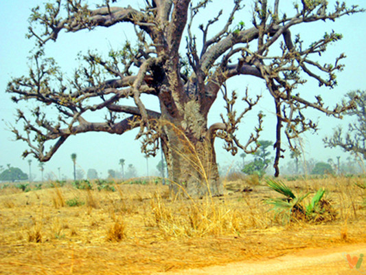 Baobab_M
