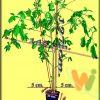 Baobab_RZM
